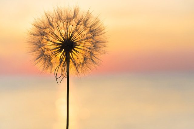 dandelion with sunset behind